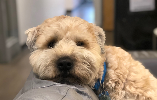 terrier dog lounging in an office